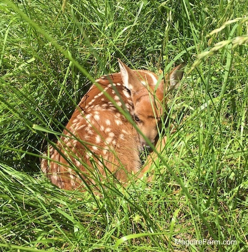 A brown with white spotted fawn laying down in tall grass